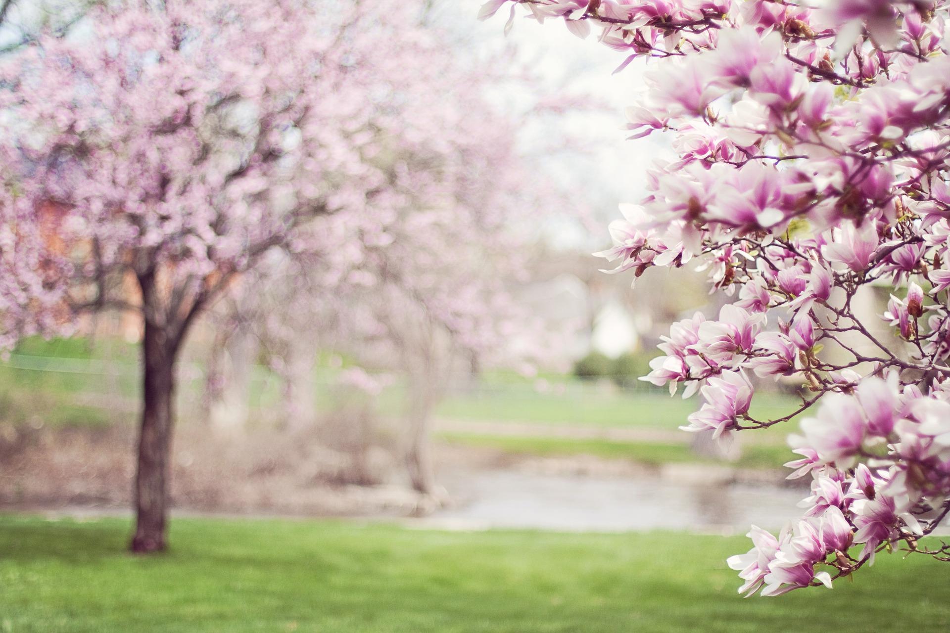 magnolia-trees-May